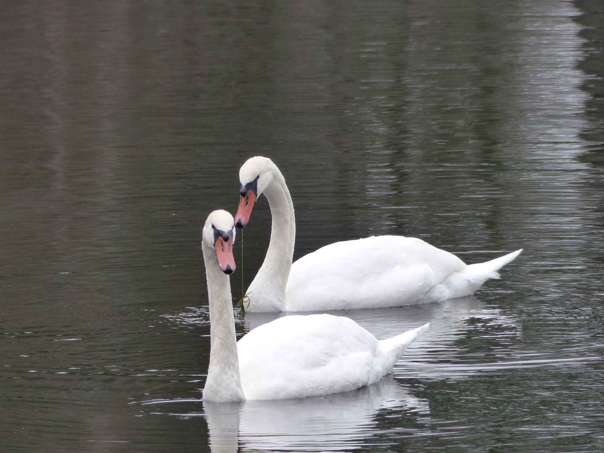 Swans at Pond 02