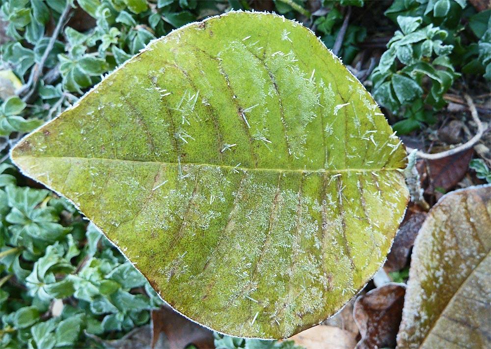 M. macrophylla and Pachysandra terminalis